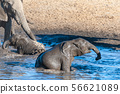Two baby elephants bathing in a pool in ethosha. 56621089