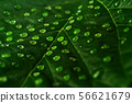 Water drops on leaf , green leaf with many water 56621679