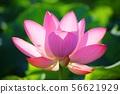 분홍연꽃 56621929