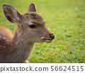 나라 공원의 사슴 56624515