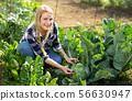 Woman harvesting cabbage at farm 56630947