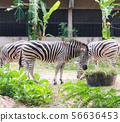 Zebras standing and eating grass.  56636453