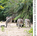 Zebras standing and eating grass.  56636456