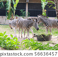 Zebras standing and eating grass.  56636457