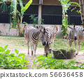 Zebras standing and eating grass.  56636458