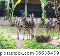 Zebras standing and eating grass.  56636459