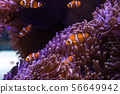 clownfish and sea anemone 56649942