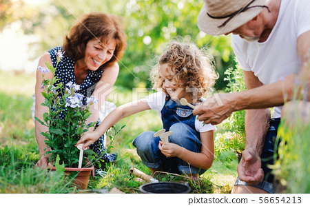 Senior grandparents and granddaughter gardening in the backyard garden. 56654213