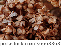 Dry limp Hydrengea flower petal details 56668868