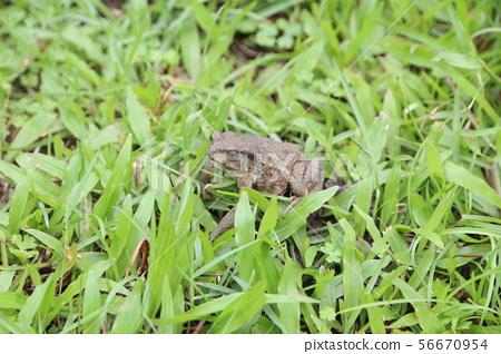 草地上的蛙 56670954