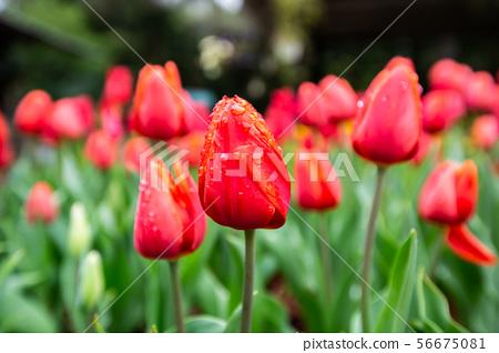 臺灣桃園桃源仙谷鬱金香Asia Taiwan Taoyuan Tulip 56675081