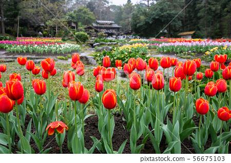 臺灣桃園桃源仙谷鬱金香Asia Taiwan Taoyuan Tulip 56675103
