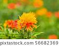 Safflower in full bloom 56682369