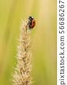 瓢虫 昆虫 虫子 56686267