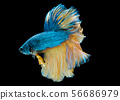 Colorful with main color of blue yellow betta fish 56686979