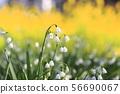 Suzuran suisen (Suzuran Narcissus) เกล็ดหิมะ 56690067