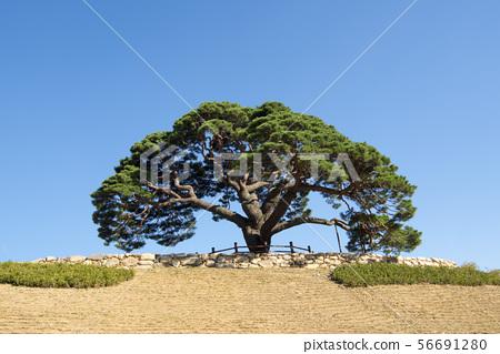 소나무,영월군,강원도 56691280