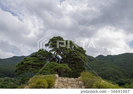소나무,영월군,강원도 56691987