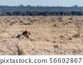 Male lion resting on a plain 56692867