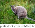 Wild wallaby in forest in Tasmania, Australia. 56699032