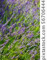 Lavandula or lavender respectively. 56706444