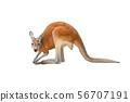 kangaroo isolated on white 56707191