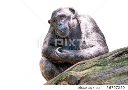 Ghimpanzee isolated on white 56707220