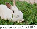 토끼 56711079