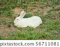토끼 56711081