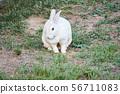 토끼 56711083