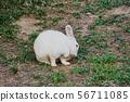 토끼 56711085
