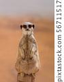 A cute Meerkat (Suricata suricatta), standing on 56711517