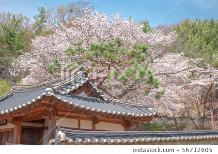벚꽃 엔딩 56712605