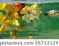 Koi carps in pond 56713124