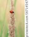 瓢虫 昆虫 虫子 56714547