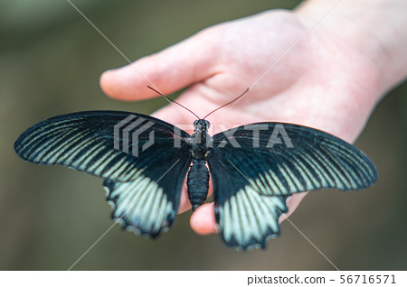 The Great Yellow Mormon butterfly in EDINBURGH BUTTERFLY and INSECT WORLD.Selected focus. 56716571