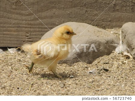 Chick 56723740