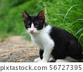 새끼 고양이 흑백 도둑 고양이 56727395