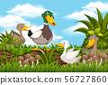 Ducks in woods scene 56727860