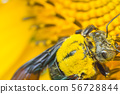 the bee working on sunflower, the insect in nature 56728844