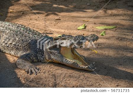 鱷魚 56731735
