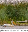 White pelican against grasses and sky in lake Utah 56733889