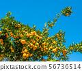 溫州橘子 56736514
