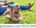 Continental toy spaniel Papillon Dog lies on the 56737308