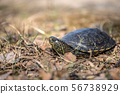 European pond turtle, Emys orbicularis 56738929