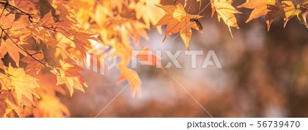 日本美丽枫叶旅行背景枫叶枫叶枫叶秋叶枫树 56739470
