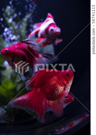 Goldfish 56741115