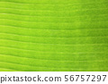 Banana leaf background with lines texture 56757297