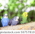 Colorful parakeet resting on tree branch 56757810