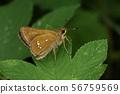 생물 곤충 미야마 챠바네 세 세리, 後翅 뒷면의 翅元 근처 (뒷면 중 실)에 명확하게 白紋. 확인 사항입니다 56759569